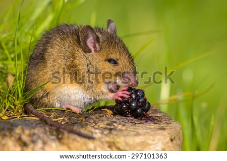Wild field mouse (Apodemus sylvaticus) eating a blackberry on a log with green background - stock photo