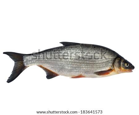 wild fish chondrostoma nasus on white background - stock photo