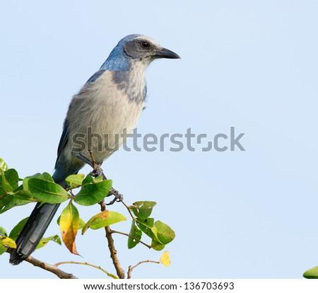 Wild Florida Scrub-Jay perched on tree branch. - stock photo