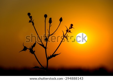 wild flower against sunset background - stock photo
