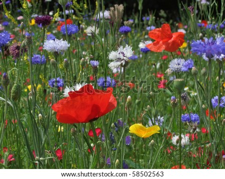 Wild flower meadow with poppies and Cornflowers - stock photo