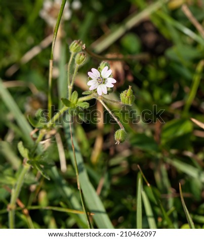 Wild flower, one of the Cranesbill family - stock photo