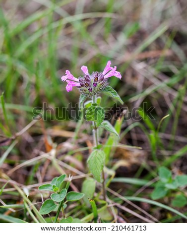 Wild flower Wild Basil growing on chalk downland the South Downs in Sussex - stock photo