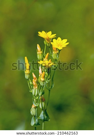 Wild flower Yellow-wort, growing on chalk South Downs in Sussex - stock photo