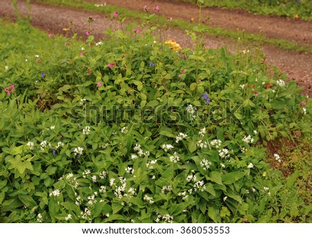 Wild Flowers and Sulphur Tufts Mushrooms in Ancient Woodland including Red Campion, Bluebells, Wild Garlic (Ramsons) in Eggesford, Devon, England, UK - stock photo