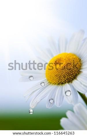 Wild flowers of chamomile - stock photo