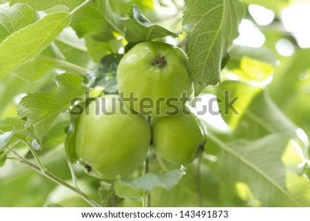 Wild forest apples in a tree - stock photo