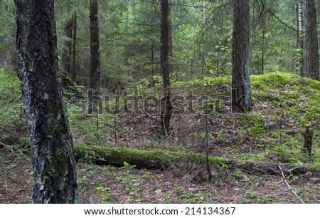 wild forest  fallen tree in the forest. wild forest median strip europe  - stock photo