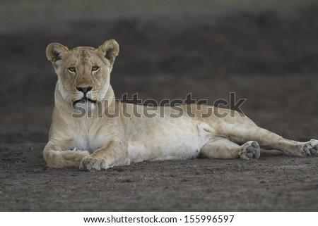 Wild free lion resting on gray soil - stock photo