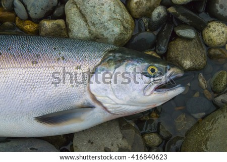 Wild fresh caught salmon fish from Alaska - stock photo