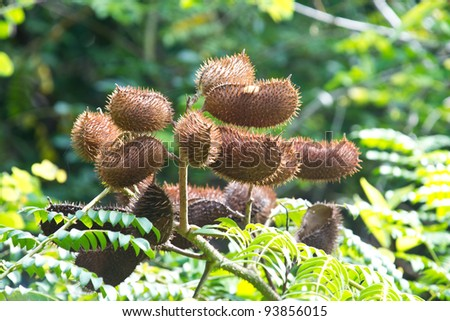Wild fruit at mangrove forest at ko samui Thailand. - stock photo