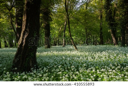 Wild garlic flowers in the forest - stock photo