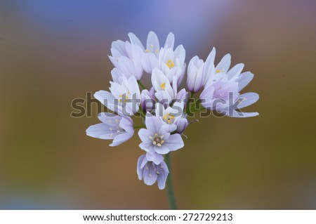 Wild garlic mediterraneam .Allium roseum - stock photo