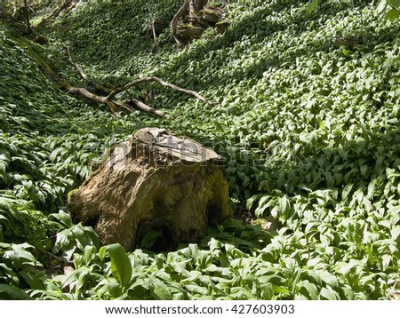 wild garlic with a tree stump - stock photo