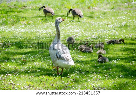 wild geese watch over their baby goslings in a Michigan park - stock photo