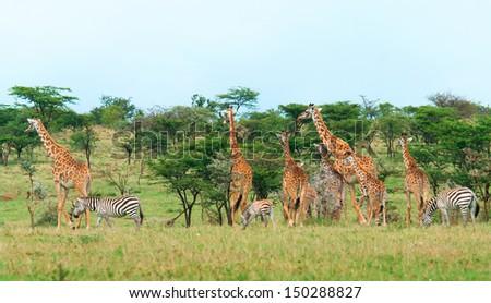 Wild Giraffes and zebras in the savanna, Kenya   - stock photo