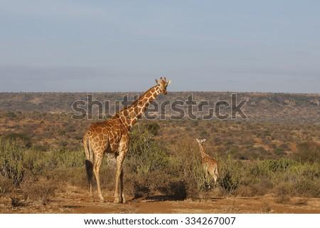 Wild Giraffes in Africa - stock photo
