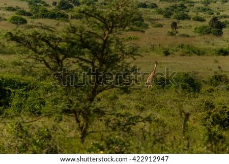 Wild Giraffes in the savanna, Kenya - stock photo