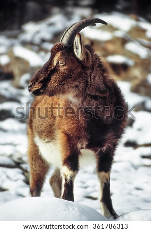 Wild goat in rocky area with snow - stock photo