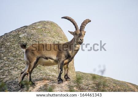 Wild goat on top of a rock, capra pyrenaica - stock photo