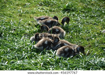 Wild goslings snuggle on the meadow - stock photo