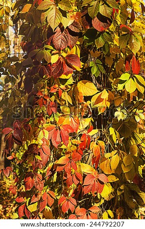 Wild grape red leaves, natural seasonal autumn vintage background - stock photo