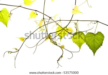 wild grape vine isolated on white - stock photo