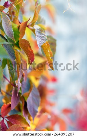 Wild grape wall background blur plant - stock photo