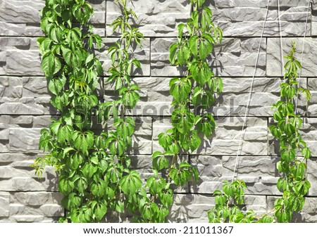 Wild grapes on a stone wall - stock photo