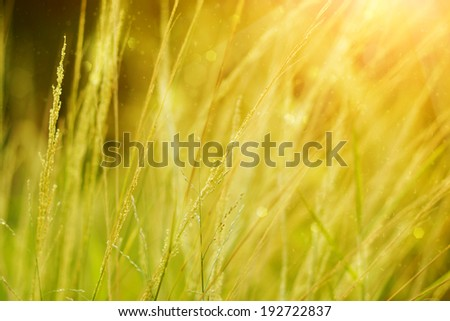 wild grass in sunset counterlight - stock photo