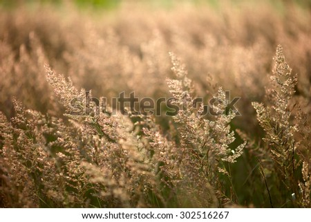 wild grass, lighted beautiful evening light. many reflections on the grass - stock photo