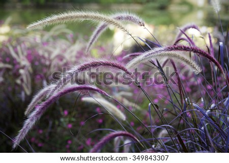Wild grass setaria swaying in the wind with beautiful nature background. Setaria is a widespread genus of plants in the grass family. - stock photo