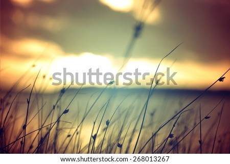 Wild grasses at golden summer sunset vintage landscape background. - stock photo