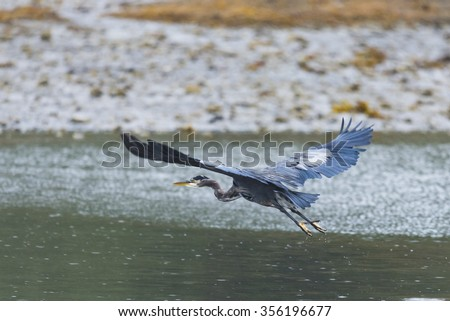 Wild Great Blue Heron feeding on the beach in the Pacific Northwest, Haida Gwaii, British Columbia Canada - stock photo