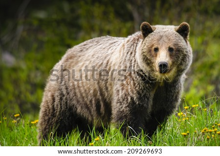 Wild Grizzly bear feeding on summer foliage, Kananaskis Country Alberta Canada - stock photo