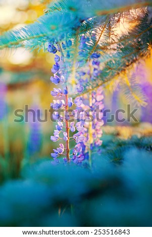 Wild-growing lupine flowers and branch of blue spruce in the sunset sunlight - stock photo
