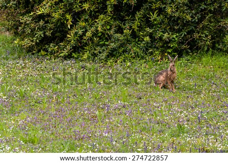Wild hare in green grass being alert  - stock photo