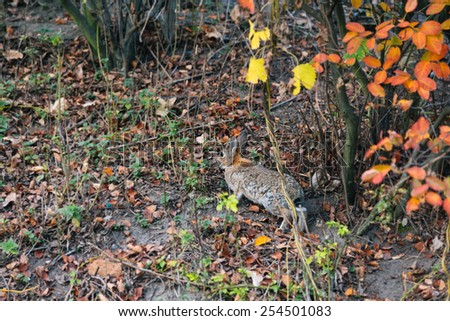 Wild hare jumping in the autumn forest  - stock photo