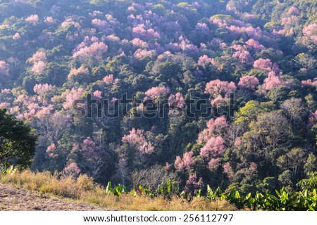 Wild Himalayan Cherry field, Prunus cerasoides - stock photo
