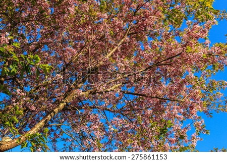 Wild Himalayan Cherry, Prunus cerasoides - stock photo