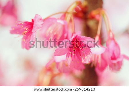 Wild Himalayan Cherry, soft focus and blurred background - stock photo
