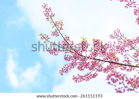 Wild Himalayan Cherry spring blossom - stock photo