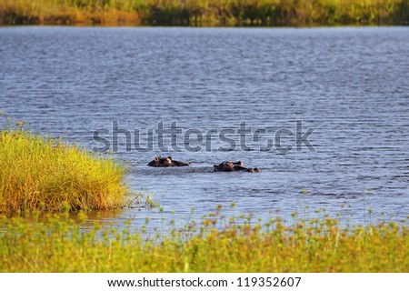 Wild Hippopotamus in the water on Mafia Island, Tanzania - stock photo