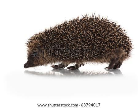 wild hodgehog on white background - stock photo
