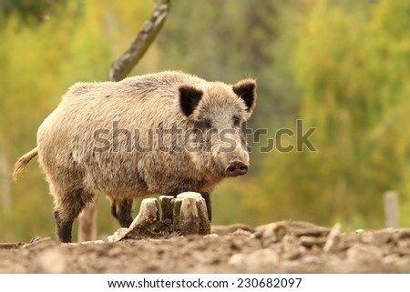 wild hog near stump ( Sus scrofa ) over green out of focus background - stock photo