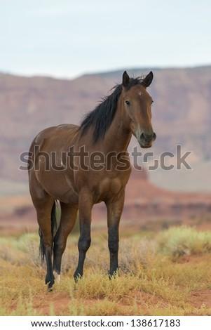 Wild horse in Monument Valley, Arizona, USA - stock photo