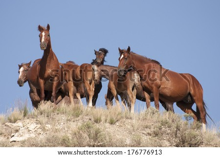 wild horse pack watches observers - stock photo