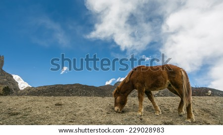 Wild horse pasturing on mountain environment. Manang, Nepal. Manang village is a part of Annapurna circuit trek, one of the most popular adventure circuit trek in the world. - stock photo