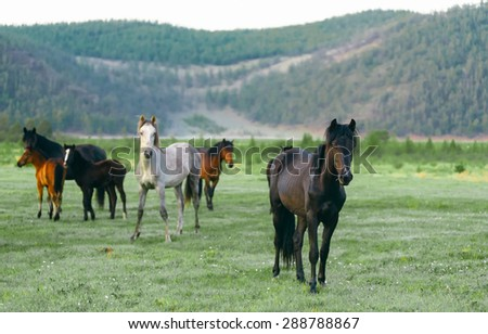 Wild horses in the nature reserve of Lake Baikal. Horses owned by a local farm . Farm closed. Horses walk by themselves . - stock photo