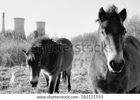 Wild horses - on nature reserve with old power station cooling towers in the background - In black and white - stock photo
